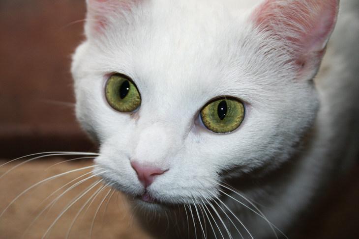 Као-мани с зелеными глазами