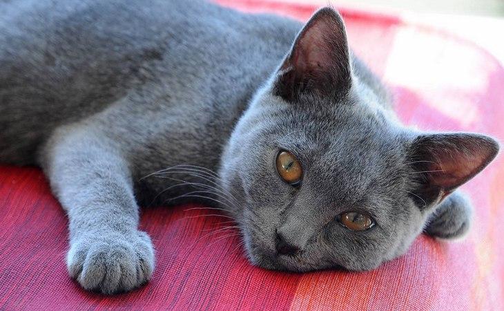 Шартрез и британская кошка: отличия