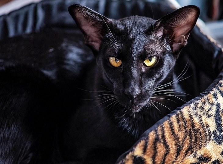 Черная кошка с зелеными глазами породы ориентал