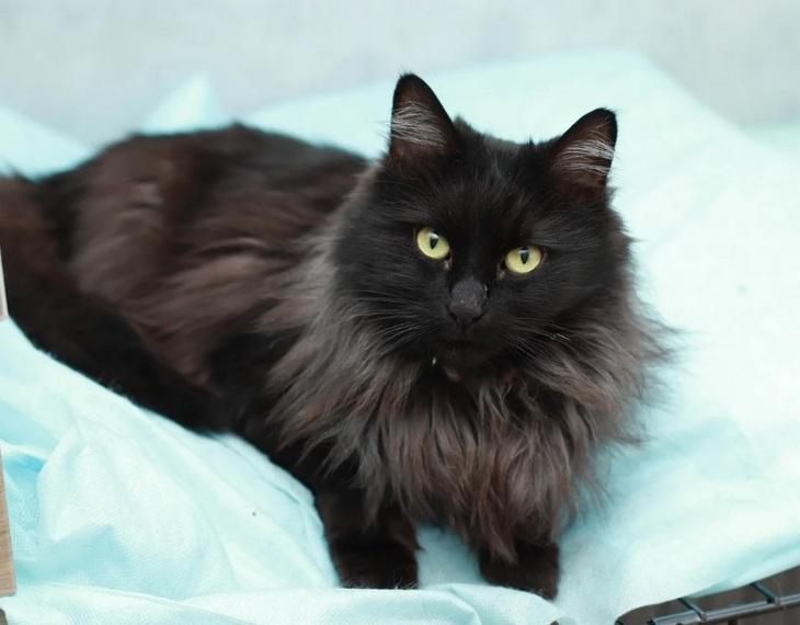 Черный кот с зелеными глазами сибирской породы